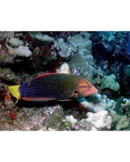 Coris Cuveri Fish