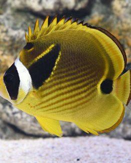 Lunula Fish
