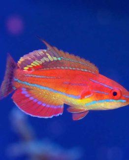 McCosker flasher wrasse Fish