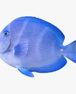The Blue Doctor Fish