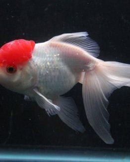 Red Cap oranda gold fish